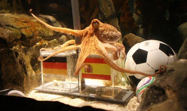 Японский осьминог-оракул убит и съеден